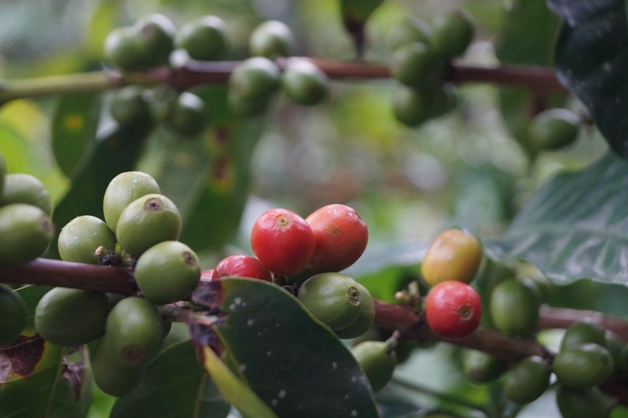 Plant café au Brésil