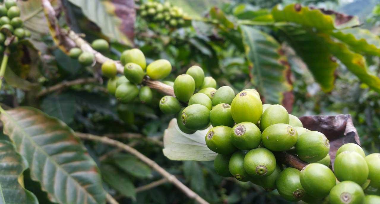 Tout savoir sur le café de Malaisie 4