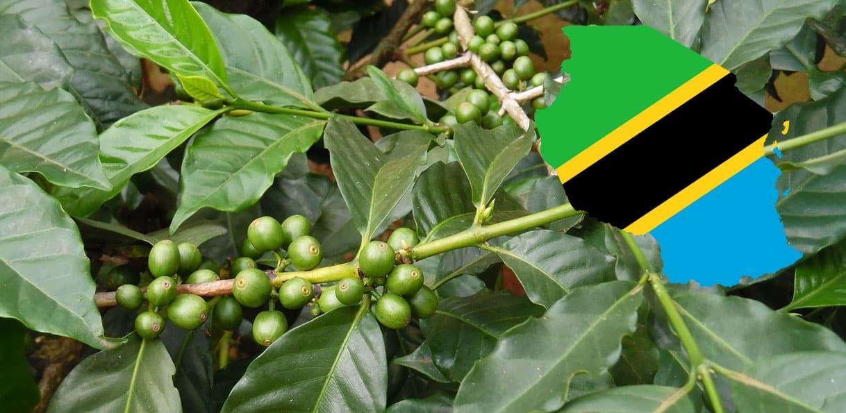 Grain de café de Tanzanie