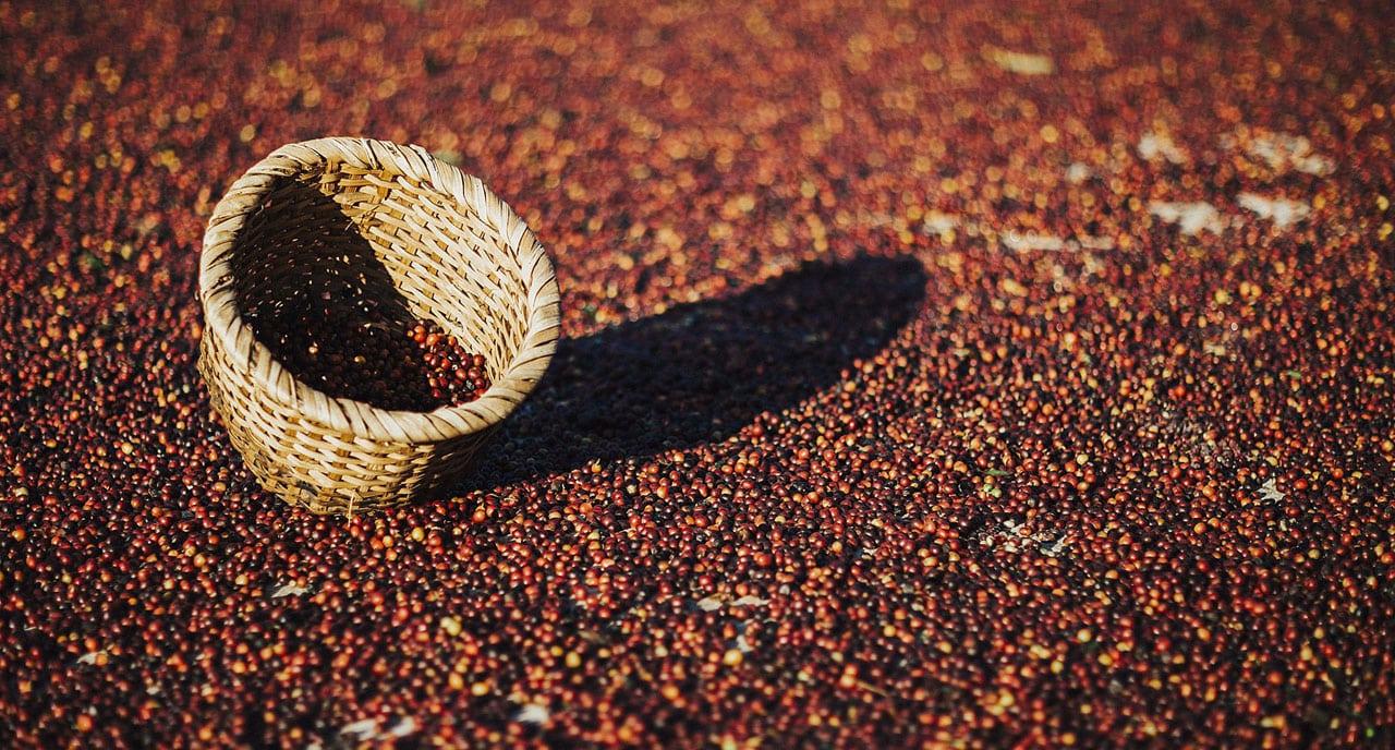 Culture de café au Costa Rica