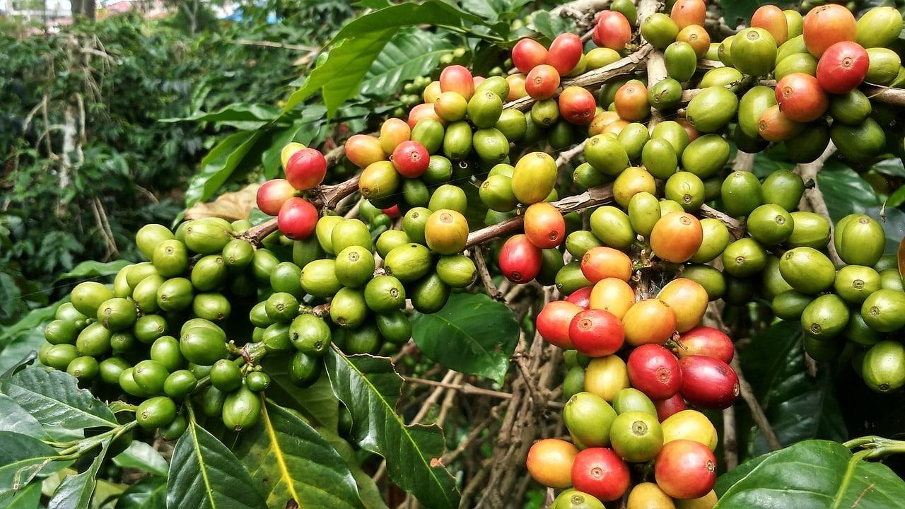 Café Gayo à Sumatra