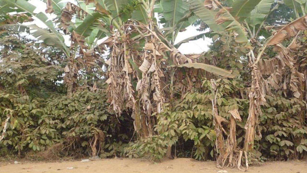 Culture de café et bananes en RDC
