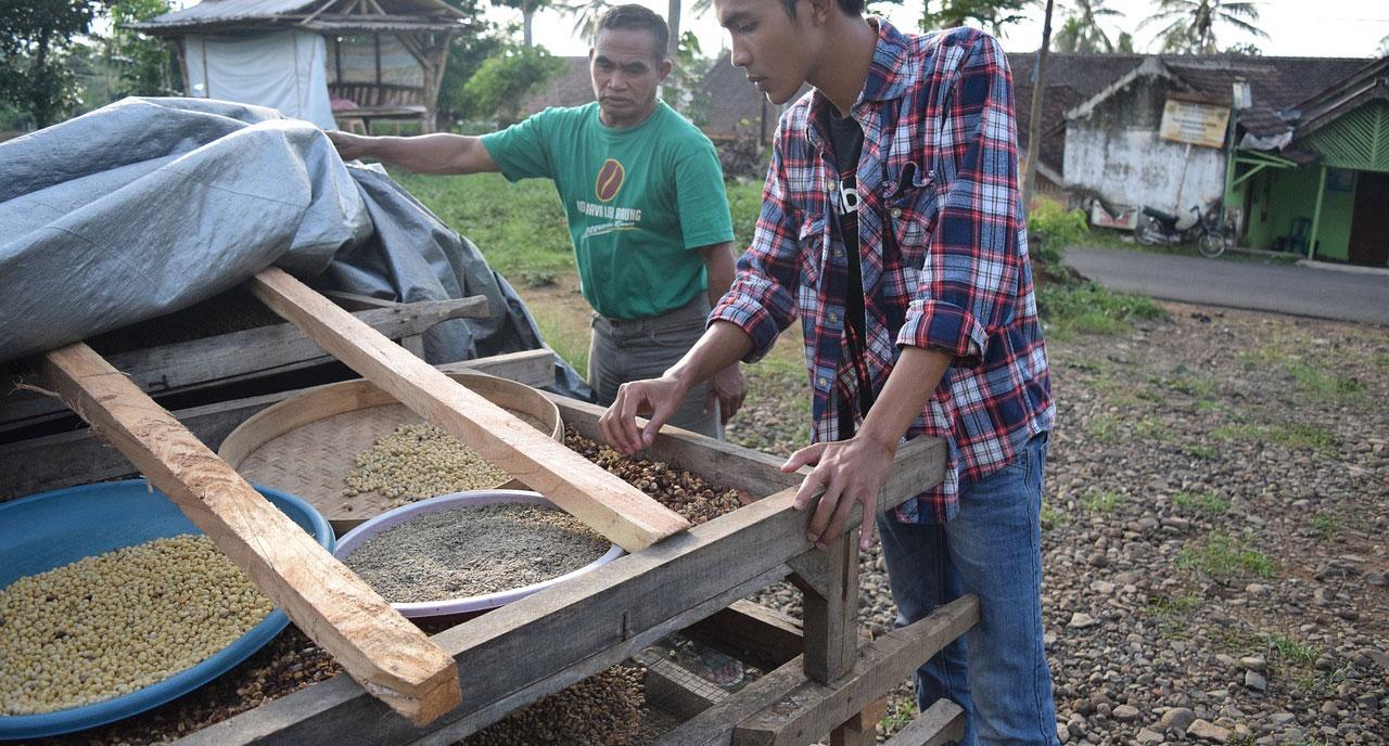 Récolte de café à Java