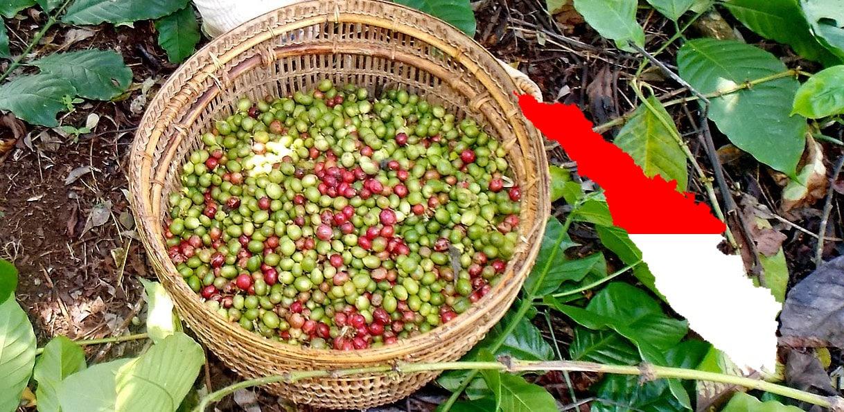 Récolte de café à Sumatra, Indonésie