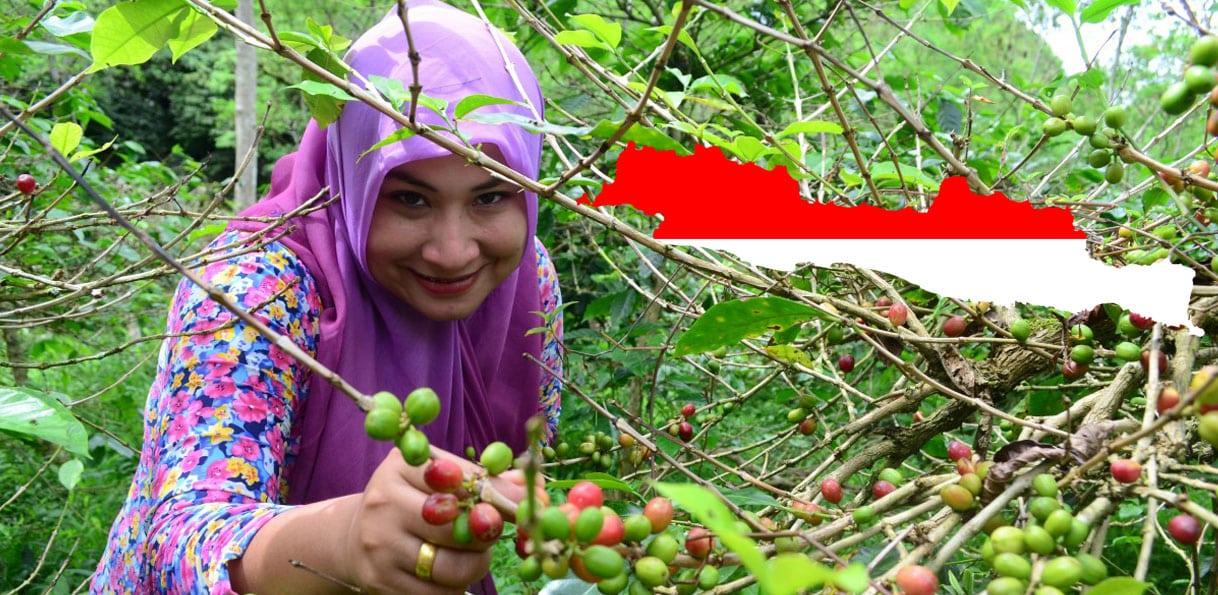 Plantation de café à Java