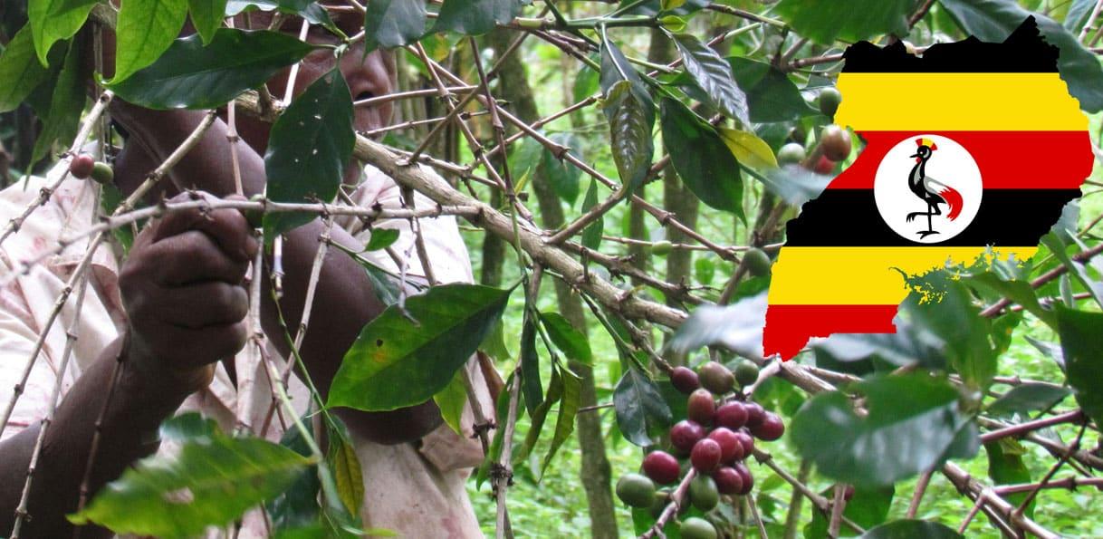 Café en provenance d'Ouganda