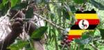 Café d'origine ougandaise