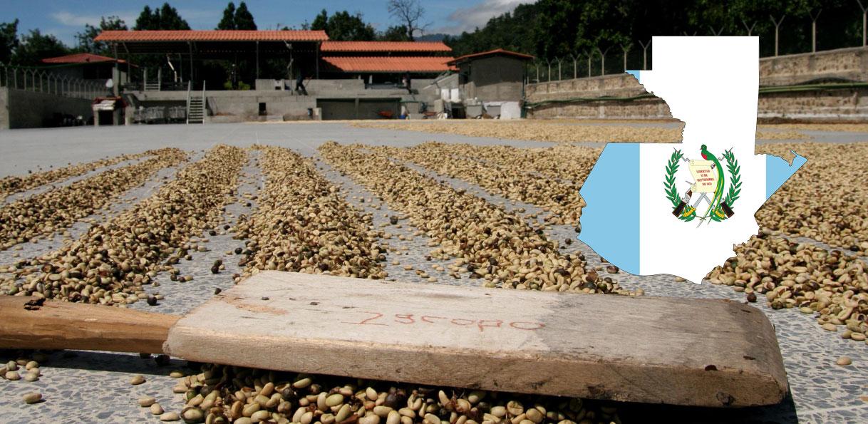 Récolte de cafré au Guatemala