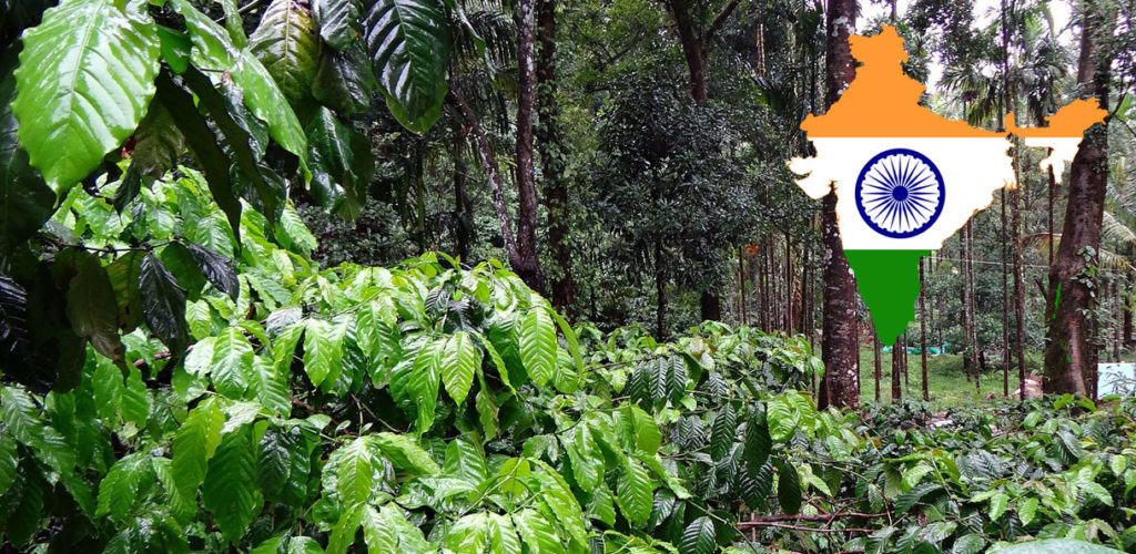 Plantation de café en Inde