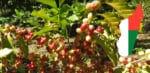 Plant de café à Madagascar