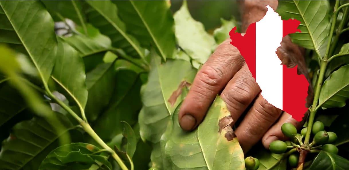 Plantation de café au Pérou