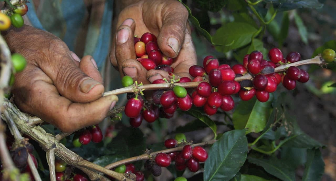 Cerises de café péruvien