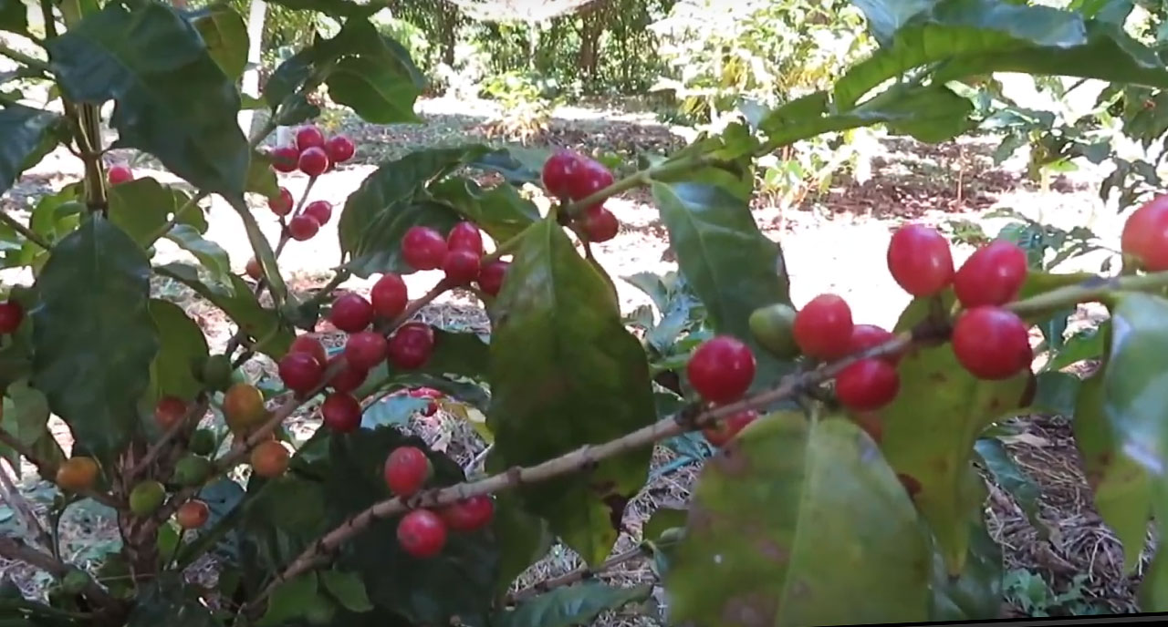 Plant de café malgache
