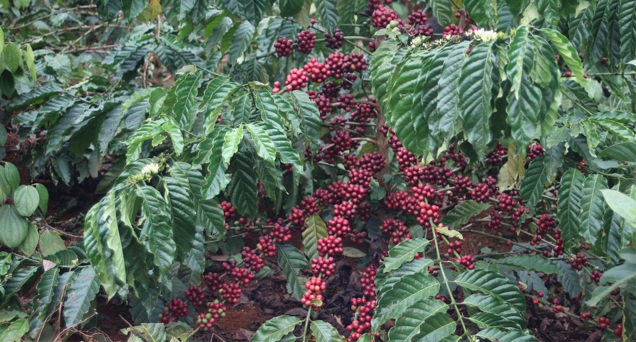 Plant de café au Vietnam