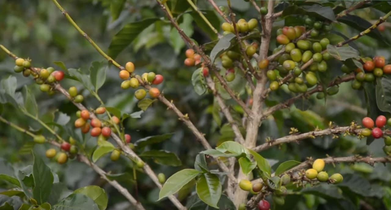 Graines de café aux Philippines