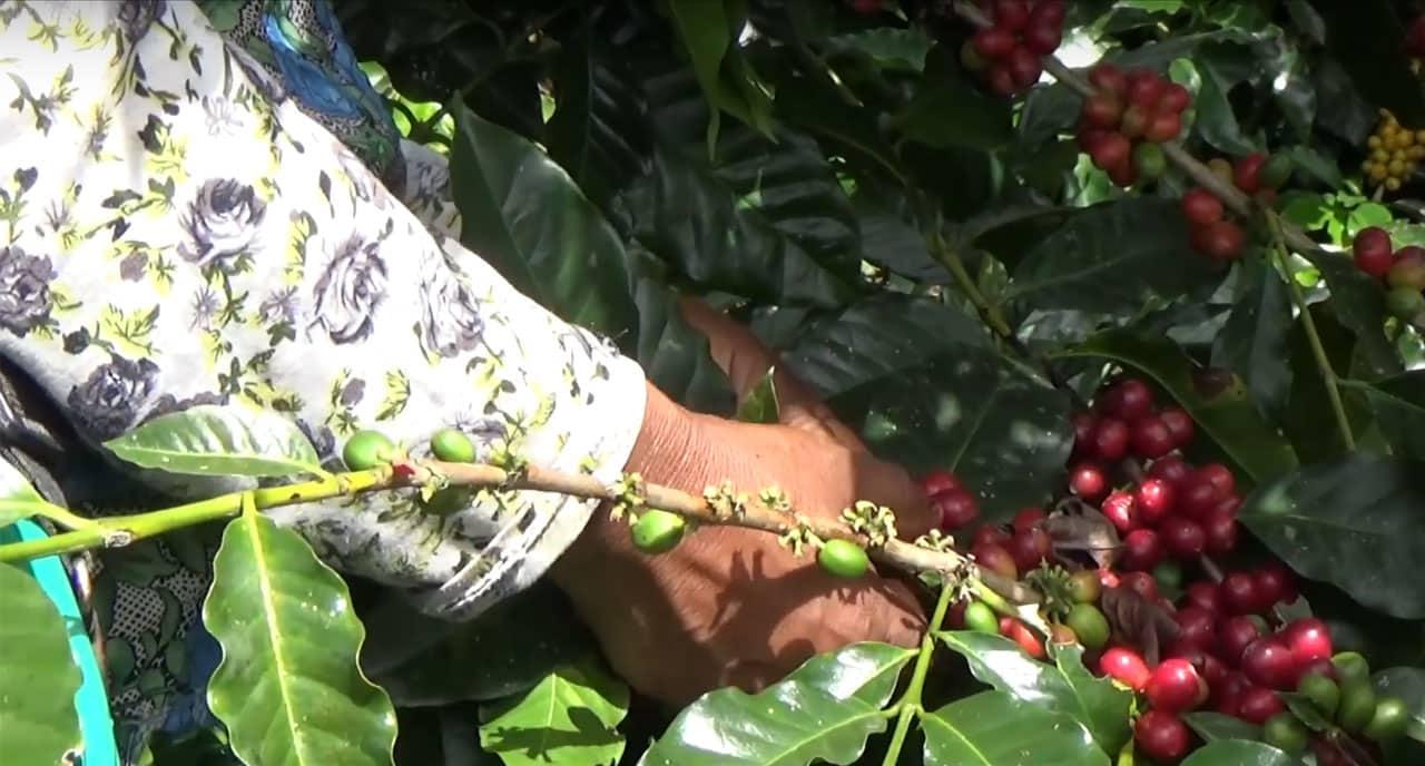 Cueillette de café en Bolivie
