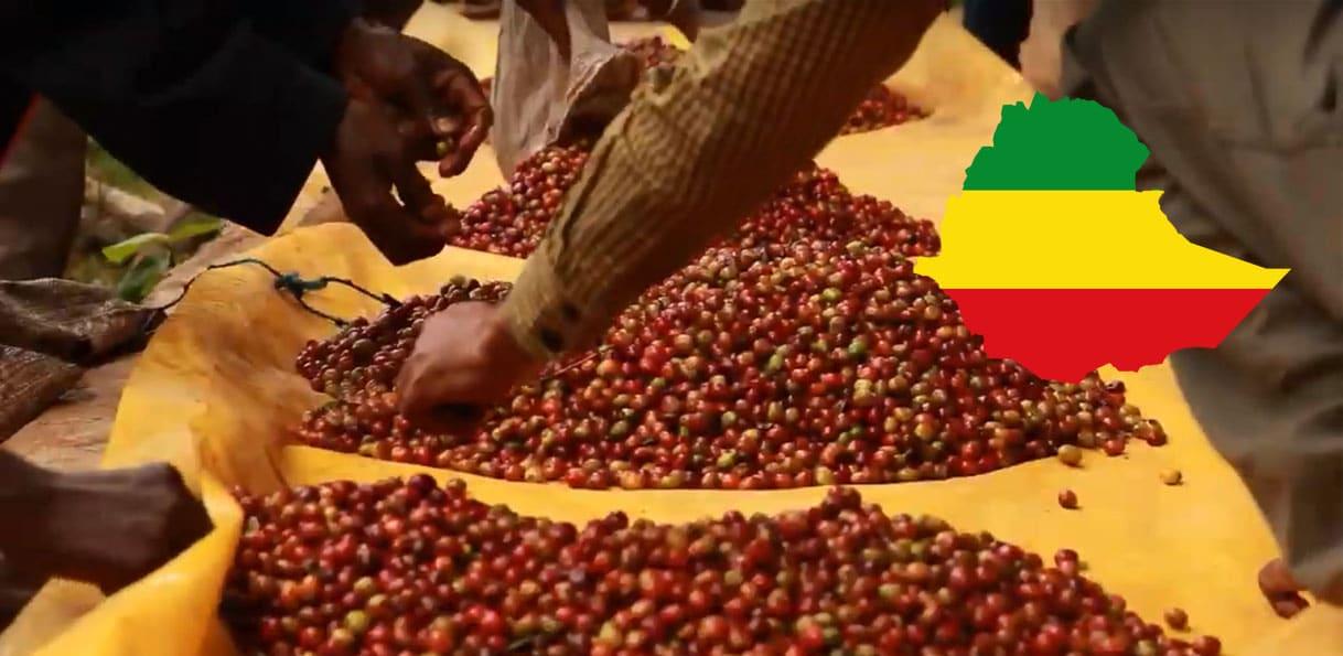 Récolte de café en Ethiopie