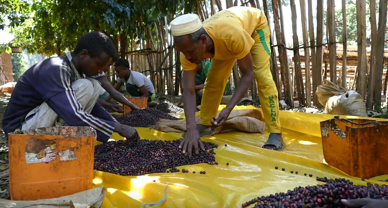 Tri de grains de café en Ethiopie