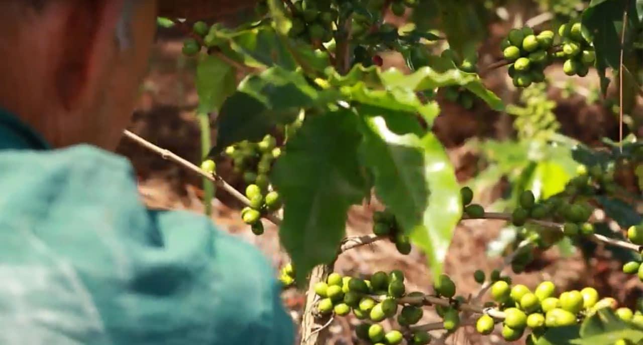 Plant de café au Honduras