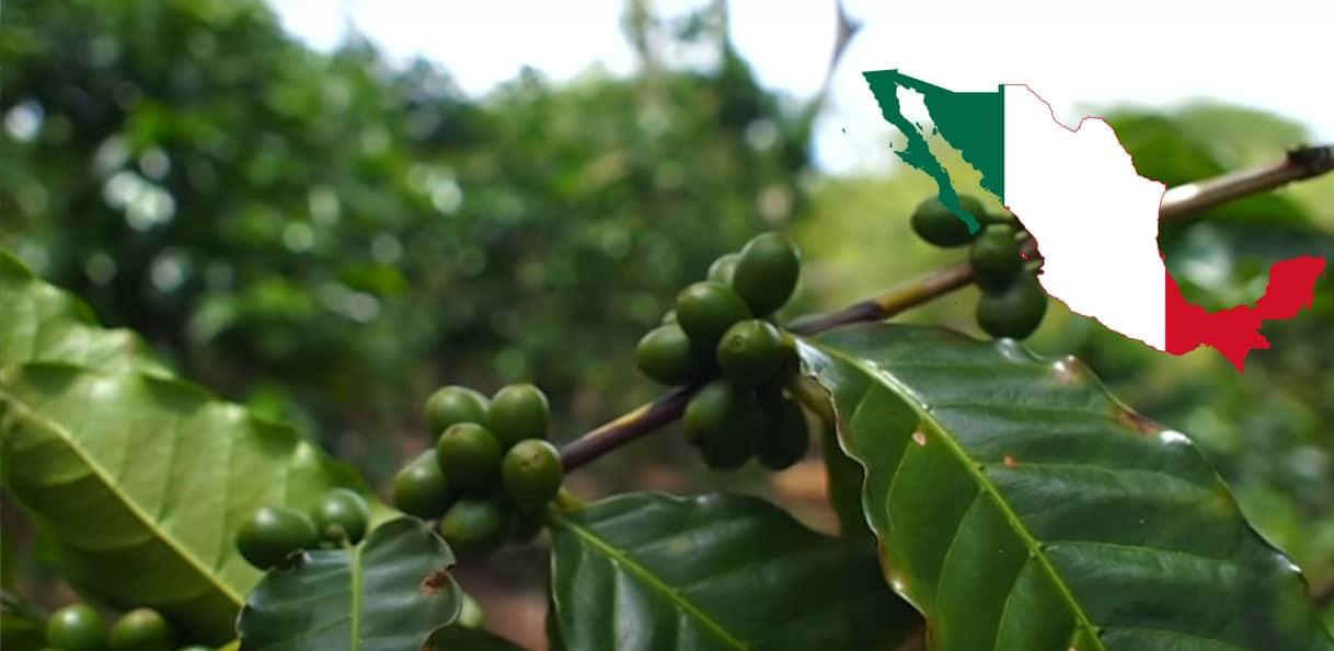Graines de café au Mexique
