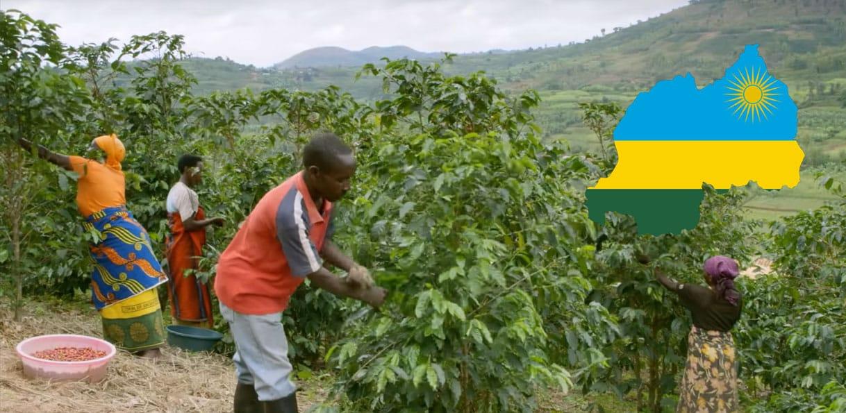 Récolte de café au Rwanda