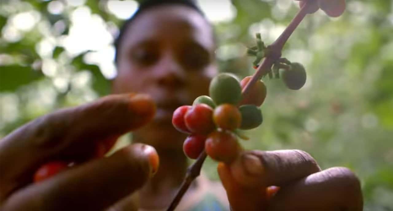 Récolte du café au Rwanda