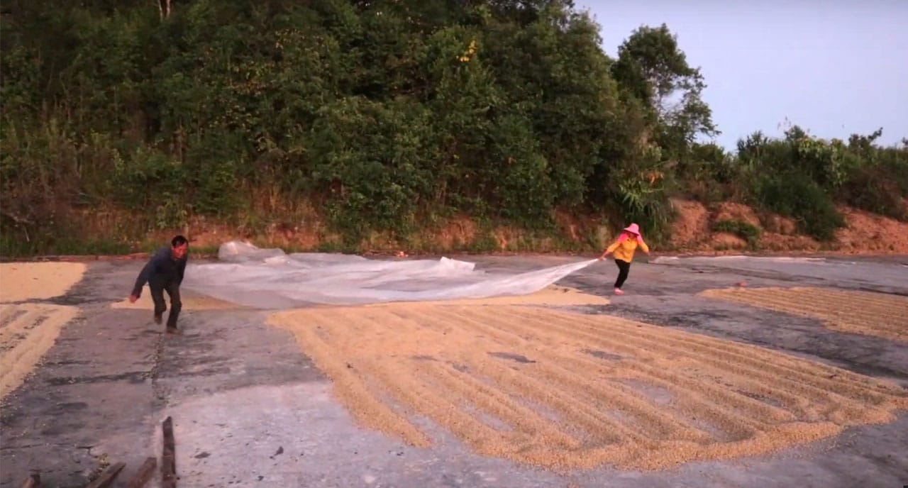 Séchage du café au Yunnan