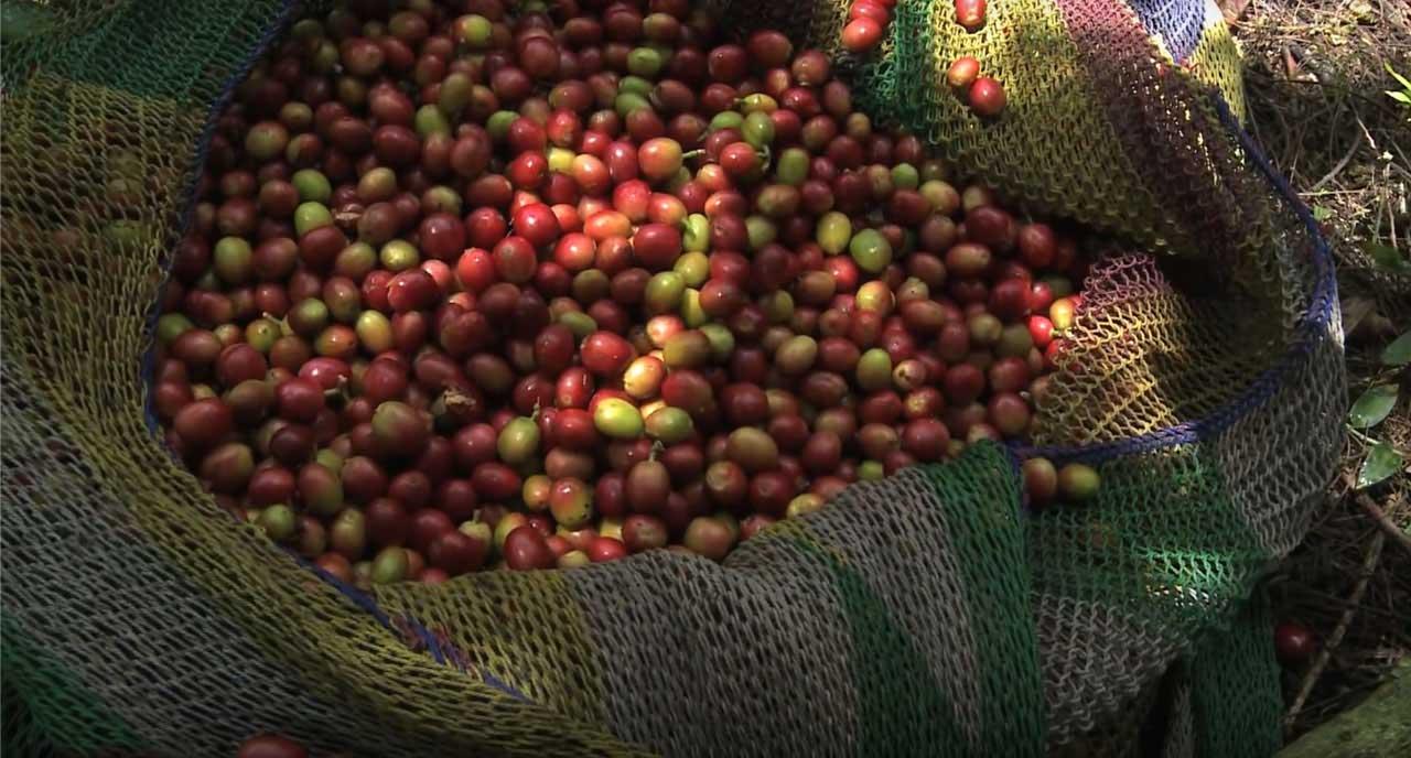 Ceuillette de graines de café en Papouasie Nouvelle Guinée