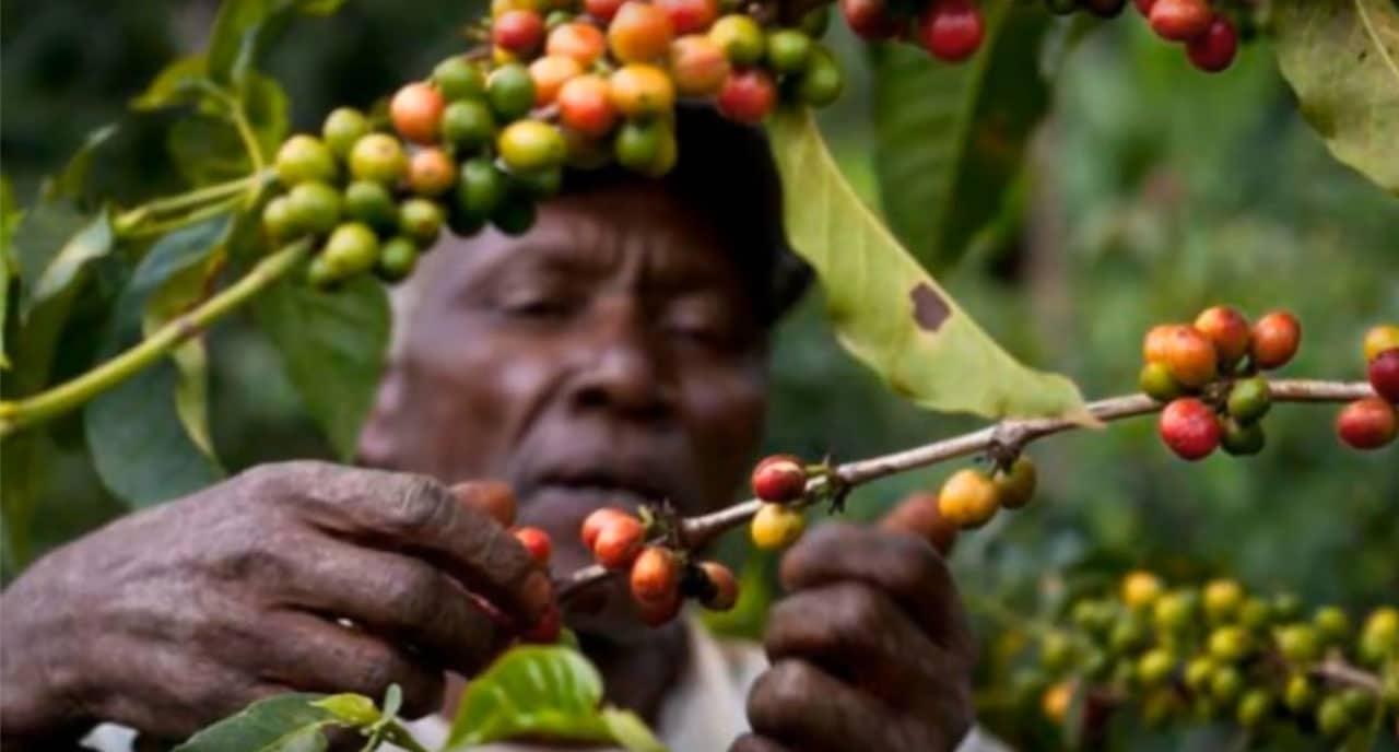 Récolte de café au Cameroun