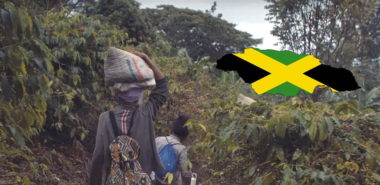 Plantation de café en Jamaïque