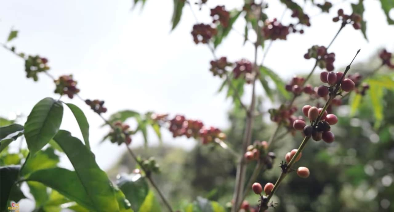 Cerises de café Kona sur Hawaï