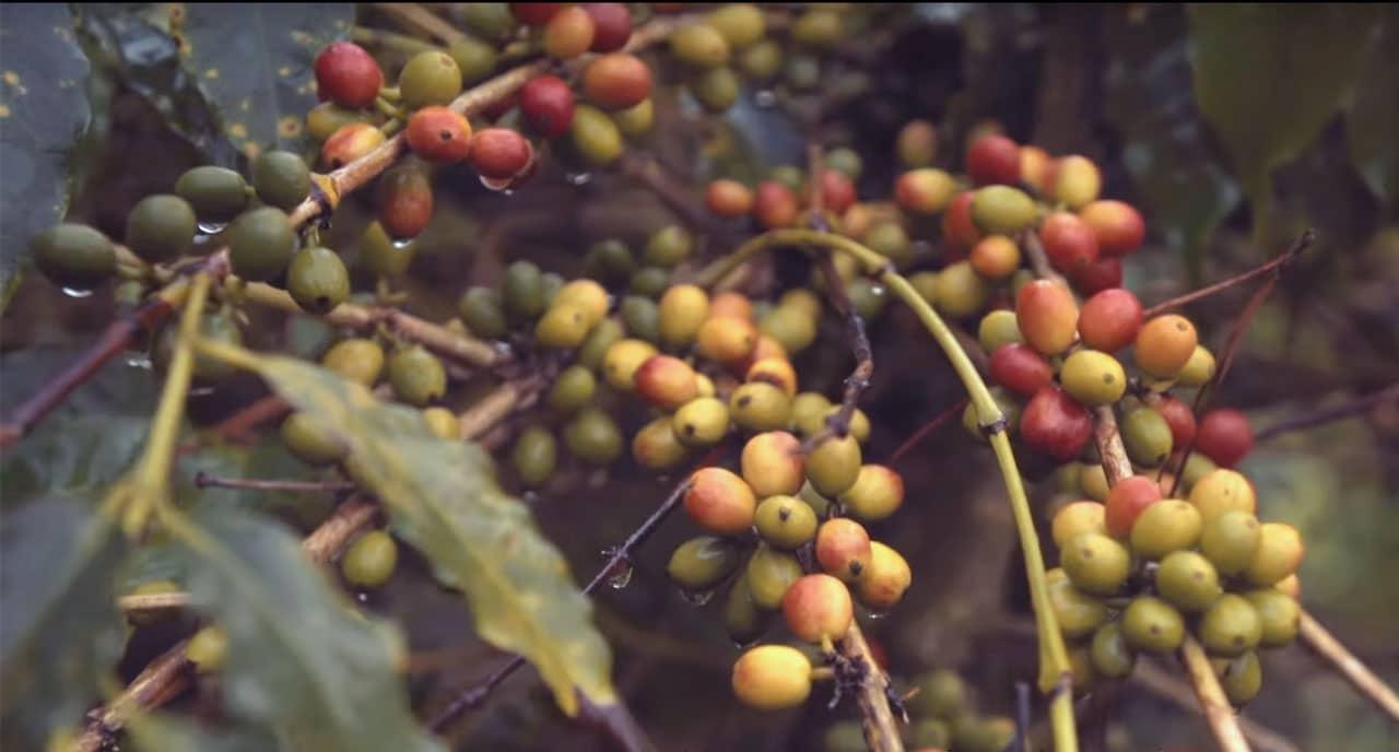 Cerises de café Blue Mountain en Jamaïque