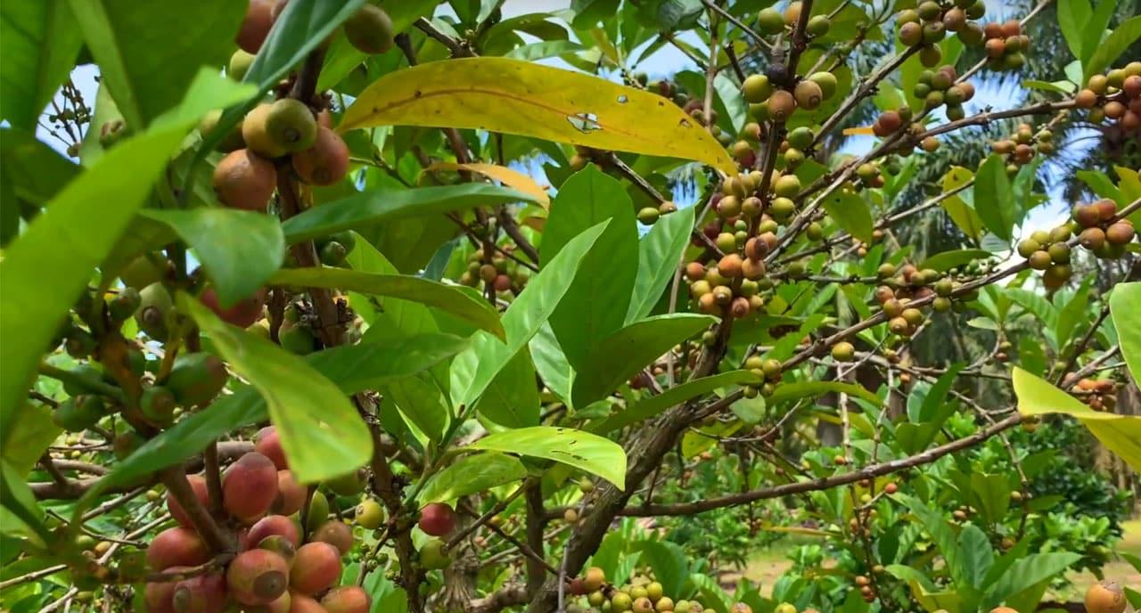 Plants Liberica en Malaisie