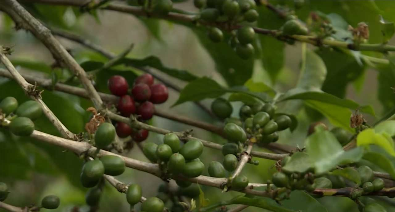 Plant de café de Sulawesi